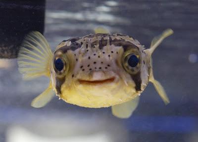 porcupinepufferfish