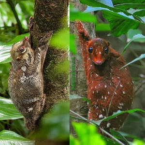 the-sunda-flying-lemur