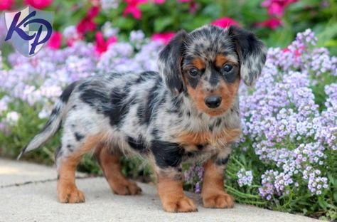 ead5e6b90b64c6b98331d3d157d71486-mini-puppies-puppies-for-sale
