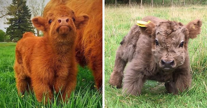 cute-baby-highland-cattle-calves-fb20__700-png